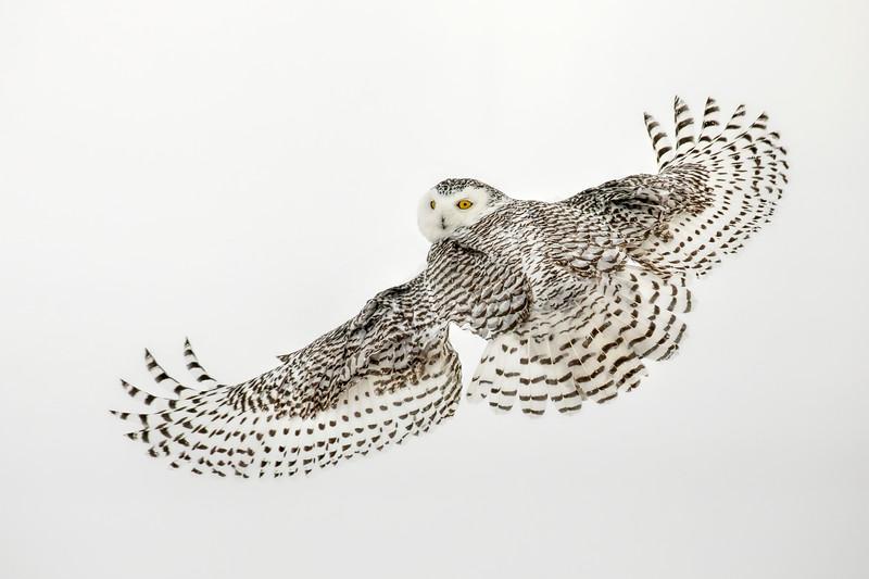 Snowy Owl Looking Back 2