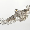 Snowy Owl Looking Back 2