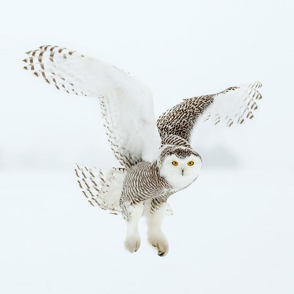Snowy Owl White 4