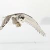 Snowy Owl Eyes on Prey