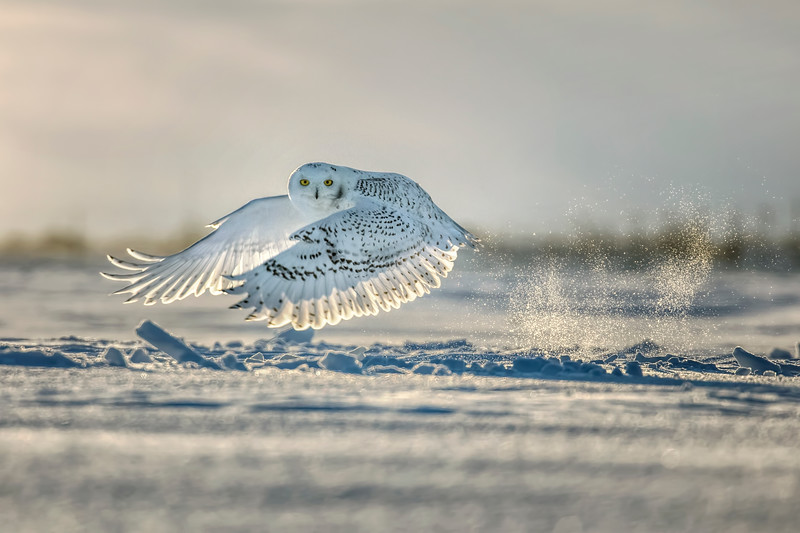 Snowy Owl Snow Spray