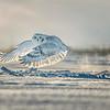 Snowy Owl Snow Spray