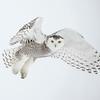 Snowy Owl White 3