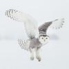Snowy Owl White 1