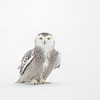 Snowy Owl Frozen Glare