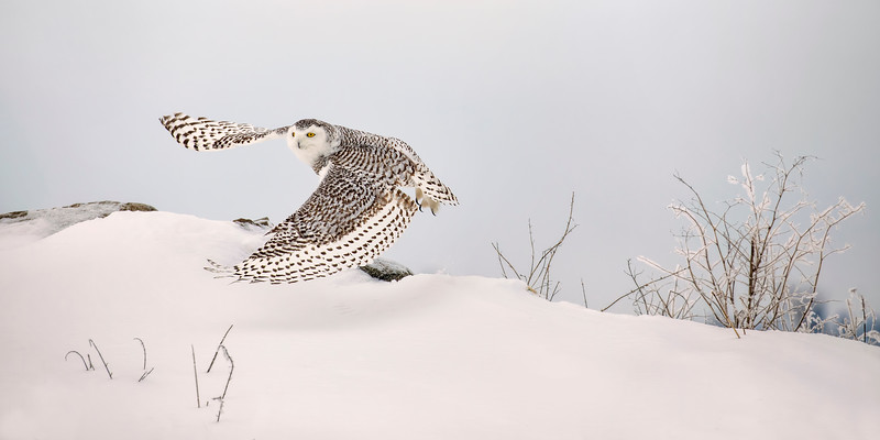 Snowy Owl Mound Lift-off Pan