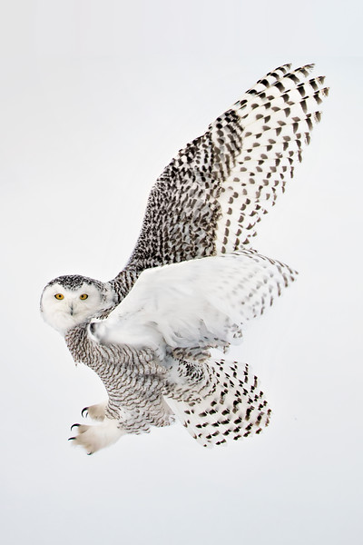 Snowy Owl Talons 2