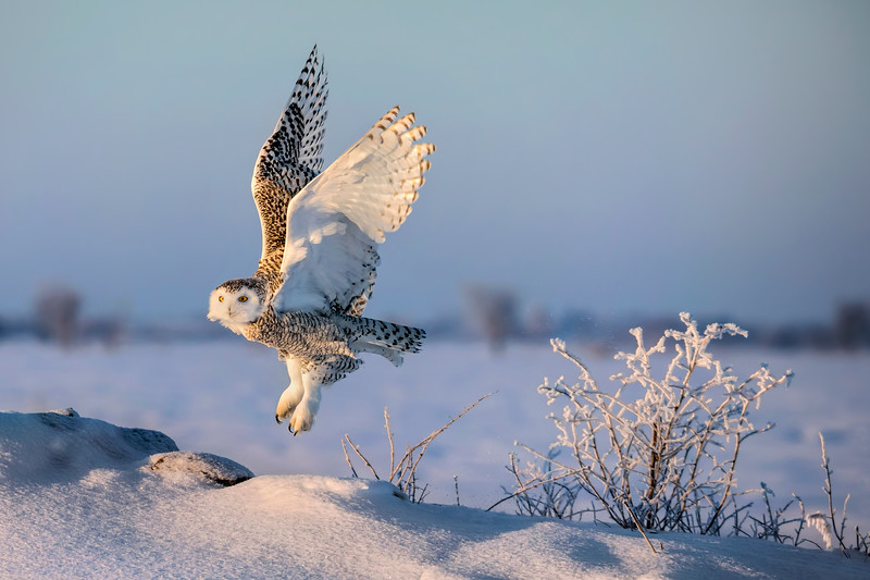 Snowy Owl Morning Lift-off