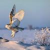 Snowy Owl Morning Lift-off