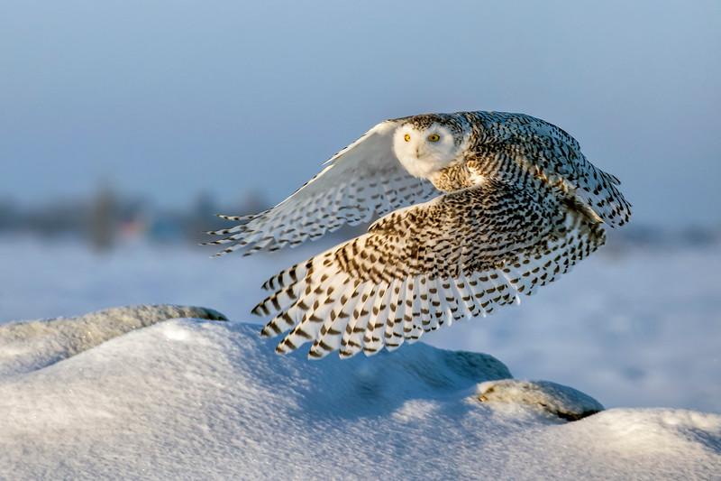 Snowy Owl Mound Lift-off