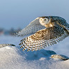 Snowy Owl Mound Lift-off