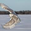 Snowy Owl Sunshine 1