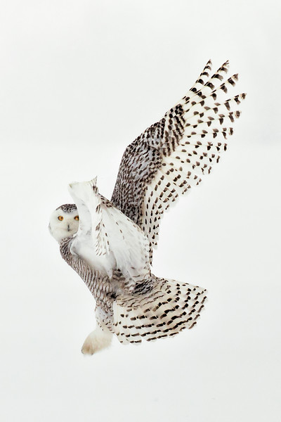 Snowy Owl Side View