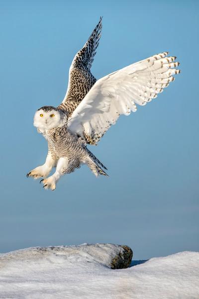 Snowy Owl Lift-off