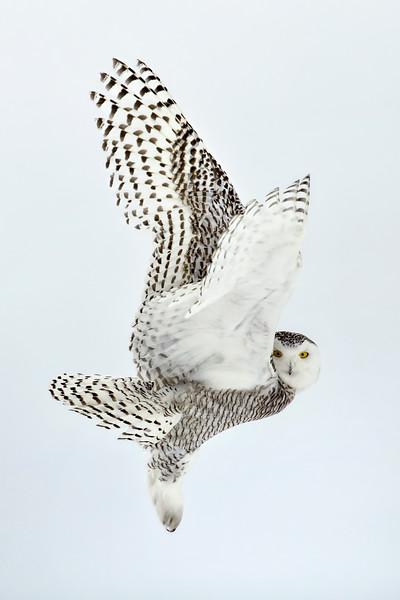 Snowy Owl Wings Liftoff 2