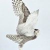 Snowy Owl Wings Liftoff 2