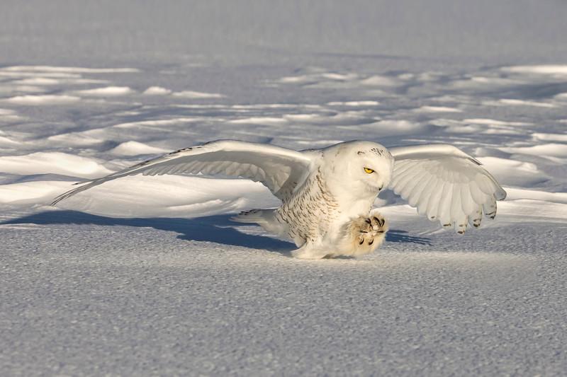 Snowy Owl Talons