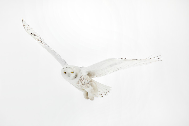 White Snowy Owl Wings Outstretched