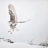 Snowy Owl Rocky Mound Lift-off