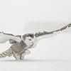 Snowy Owl Wings Liftoff