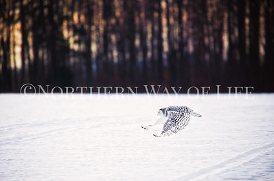 Swooping low to the ground, this snowy owl hunts at sunset in northern michigan