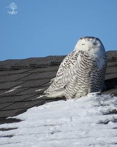Snowy Owl 8 Rye Harbor Feb. 2014