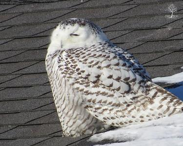 Snowy Owl 4  Rye Harbor Feb. 2014 - 2
