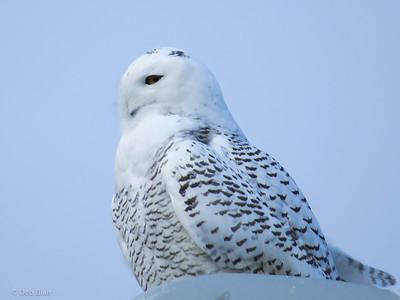 Snowy Owl 6 Merrimack, NH (Anheuser Busch) December 2013