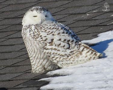 Snowy Owl 1 Rye Harbor Feb. 2014