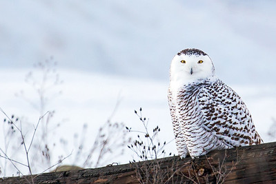 Snowy Owl: Traverse City, Michigan