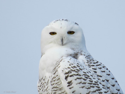 Snowy Owl 2 Merrimack, NH (Anheuser Busch)  December 2013