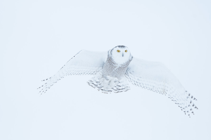 Snowy owl with low wing span