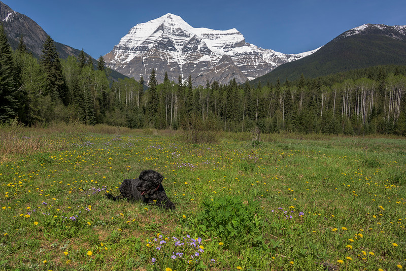 Mount Robson with wildflowers and dog