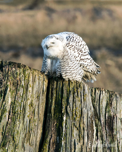 Snowy owl-4, Delta, BC