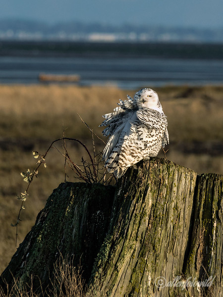 Snowy owl ruffled by the breeze, Delta, BC
