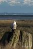 Snowy owl-1, Delta, BC