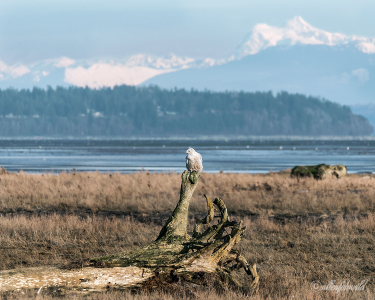 Snowy owl with snow-covered mountain