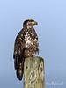 Young eagle-2, Delta, BC