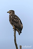 Large eagle, tiny perch, Delta, BC