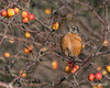 Robin-eating-crab-apples,-Delta-Dyke,-Delta,-BC<br /> <br /> My newish Sigma lens (150-500 mm) had to go in for repair a couple of times since I bought it less than 12 months ago (aufofocus failure), so Sigma replaced it last week with a new lens.  Thought I would take a break from editing my foreign photos and get out locally this weekend to check out the replacement lens.  So far, so good.  At the larger sizes, you can see the apple 'sauce' on the bird's beak.