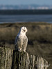 """I thought I did that very well, don't you?""<br /> <br /> 'Smiling' snowy owl, Delta, BC"