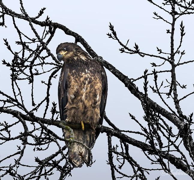 Young eagle-6, Delta, BC