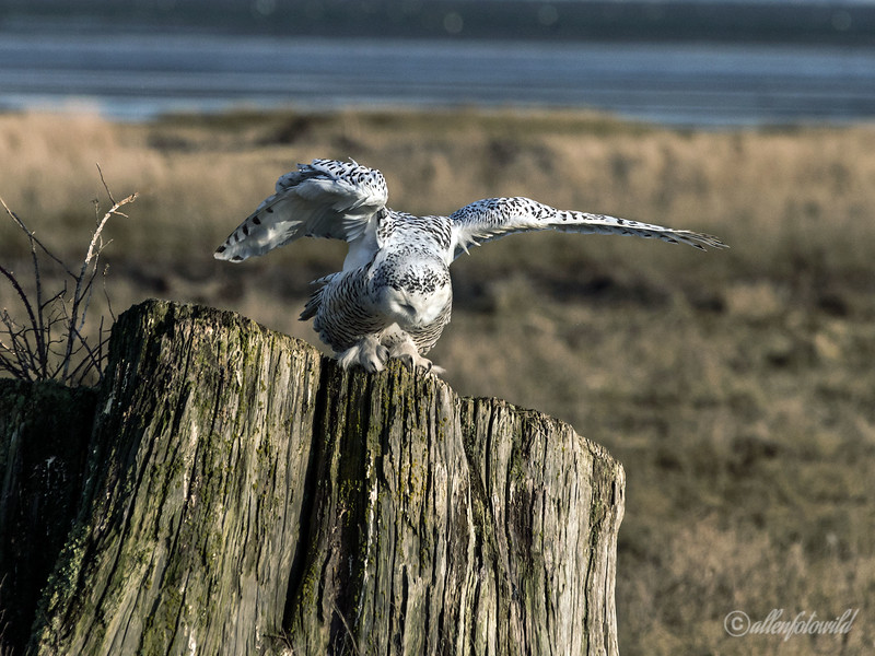 Snowy owl landing on stump-2, Delta, BC