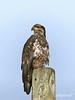 Young eagle-3, Delta, BC