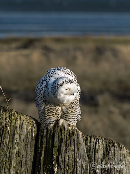 Snowy owl-3, Delta, BC