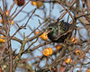 Starling in a crab apple tree