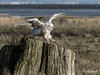 "Snowy owl landing on stump, Delta, BC<br /> <br /> I've been busy trying to get my computer problems solved and there were so many great images yesterday, I ran out of time to comment on them; apologies if I missed yours!  Today I have posted several snowy owl photos; you can see more here <a href=""http://goo.gl/b0Pfp"">http://goo.gl/b0Pfp</a>"