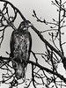 Young eagle-5, Delta, BC<br /> <br /> Another young eagle in B/W.
