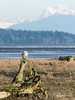 Snowy owl in the Delta wetlands with Boundary Bay and Mount Shuksan, Delta, BC