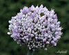 Allium ampeloprasum (best at larger sizes)